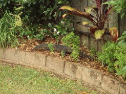No squirrels here. Aussie wildlife means finding large creatures like this guy in your backyard.