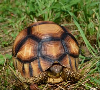 Ploughshare tortoise, Astrochelys yniphora