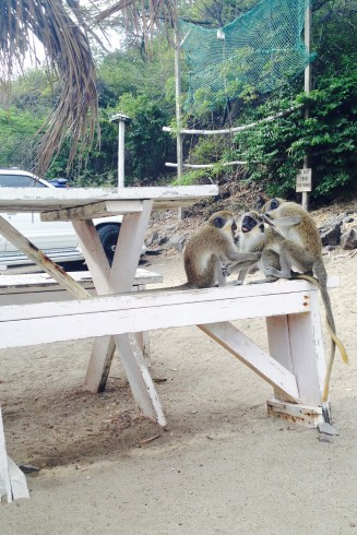 Monkeys at Shipwreck beach