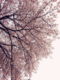 cherry blossoms sky