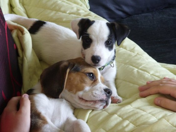 Megs and Gemma (Jack Russell and Beagle)