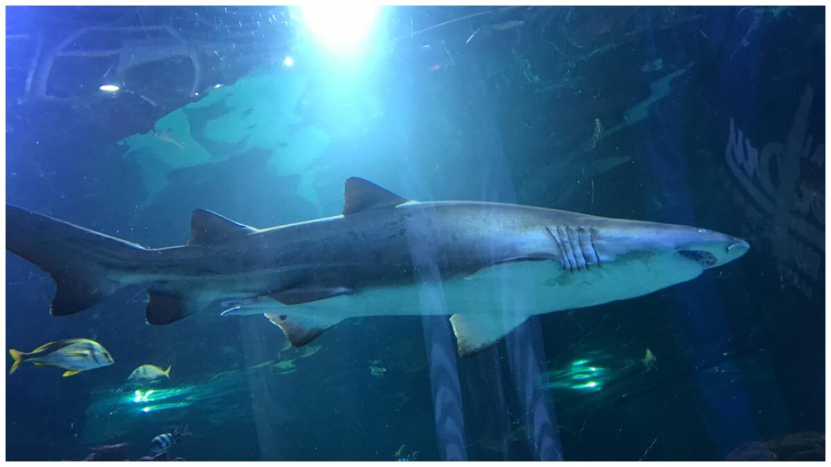 A shark at Blue Planet Aquarium
