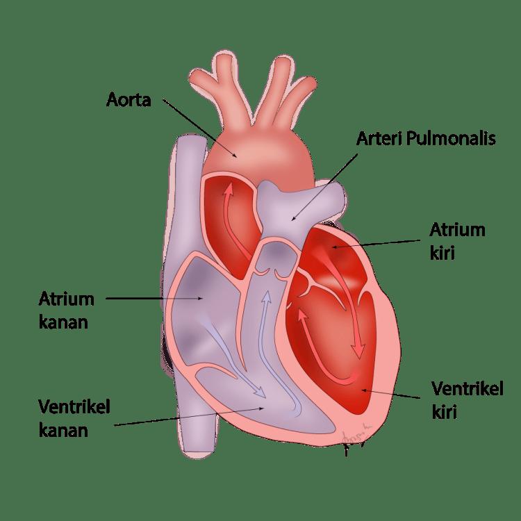 Anatomi jantung, ruang-ruang jantung dan sekat pembatasnya.