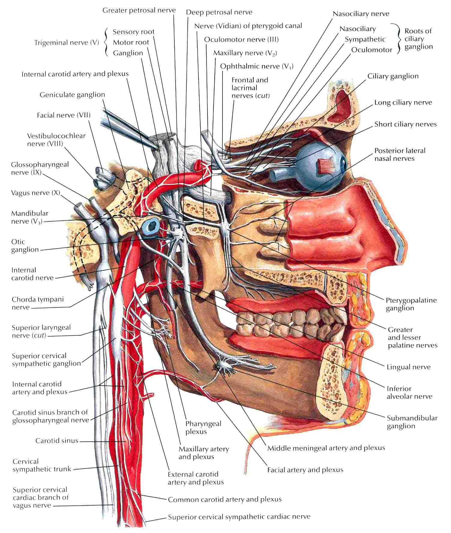 nerves in neck and shoulder diagram 1982 chevy c10 ignition wiring anatomi patologi organ bedahunmuh 39s blog