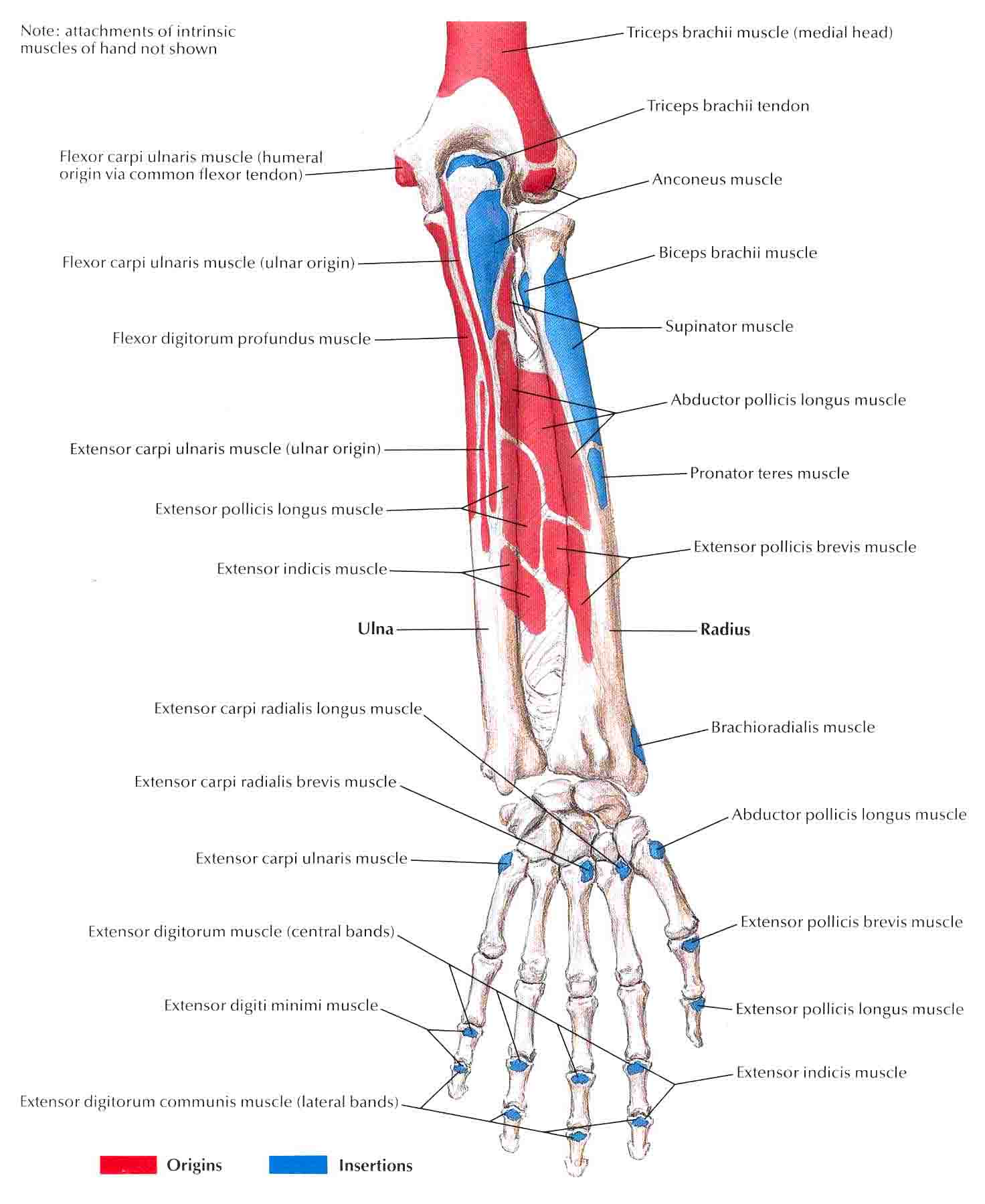 Bony Attachments Of Muscles Of Forearm Posterior View