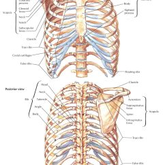 Rib Cage Bone Diagram 1989 Yamaha G2 Wiring The Thorax Radiographic Imaging