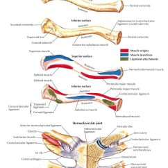 Clavicle And Scapula Diagram 1987 Club Car Ds 36 Volt Wiring Pictures To Pin On Pinterest Thepinsta