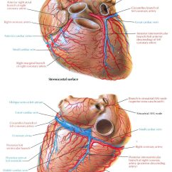 Coronary Arteries Diagram Branches Penguin Life Cycle The Gallery For Gt Heart Disease