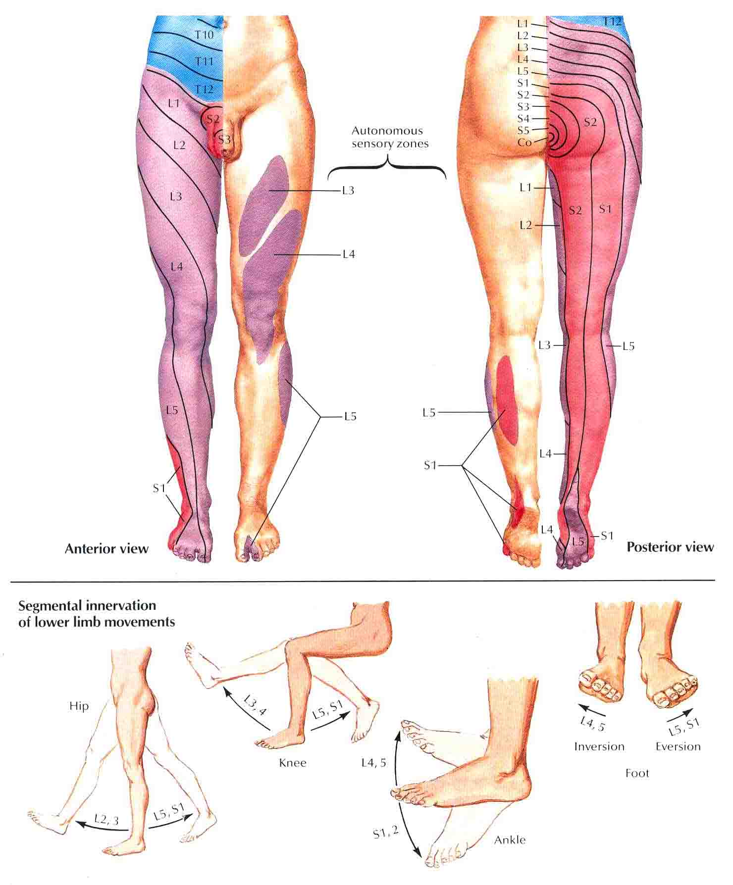 lower leg nerve diagram dometic awning parts dermatome limb explore wiring on