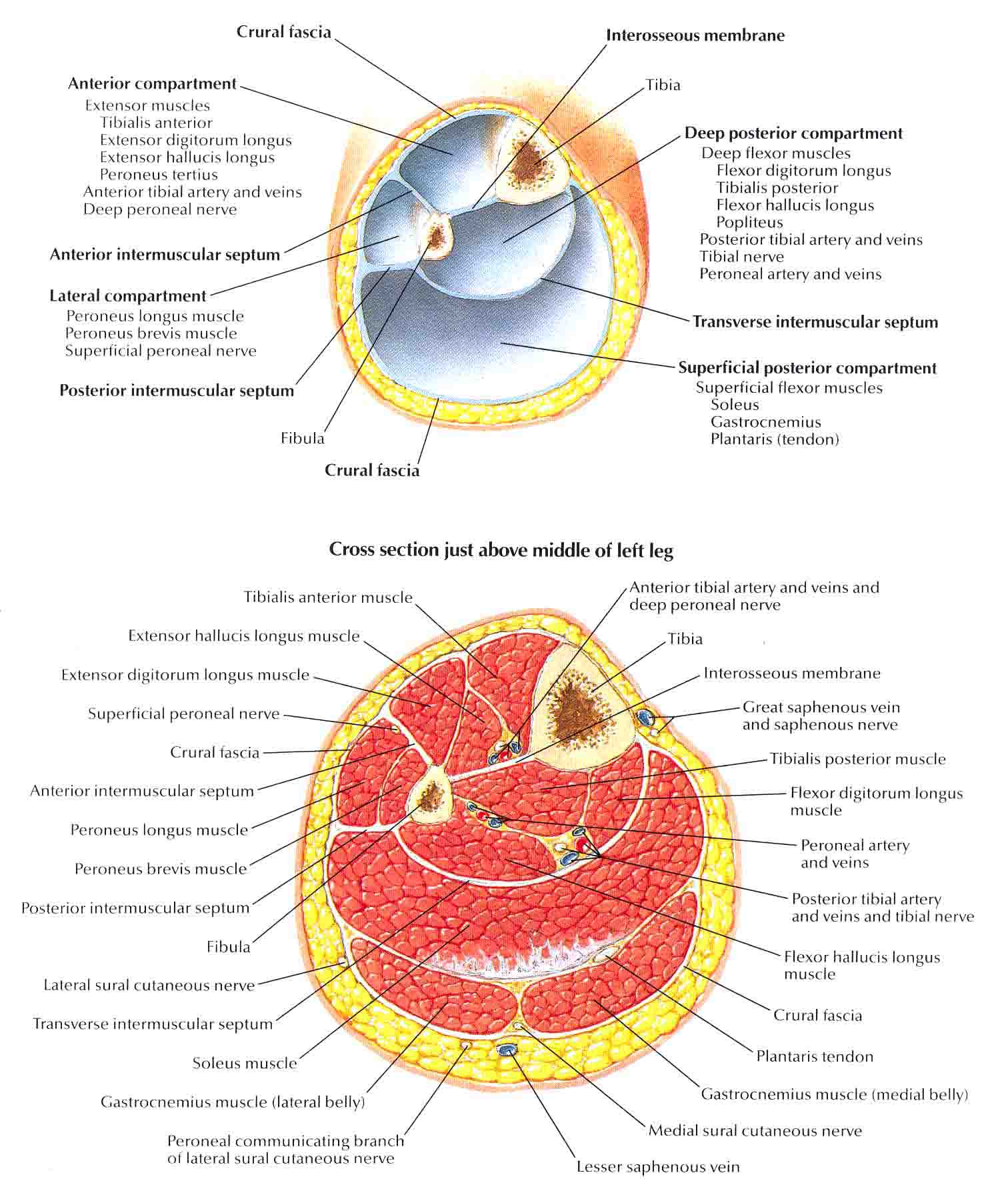 Leg Cross Section And Fascial Compartments