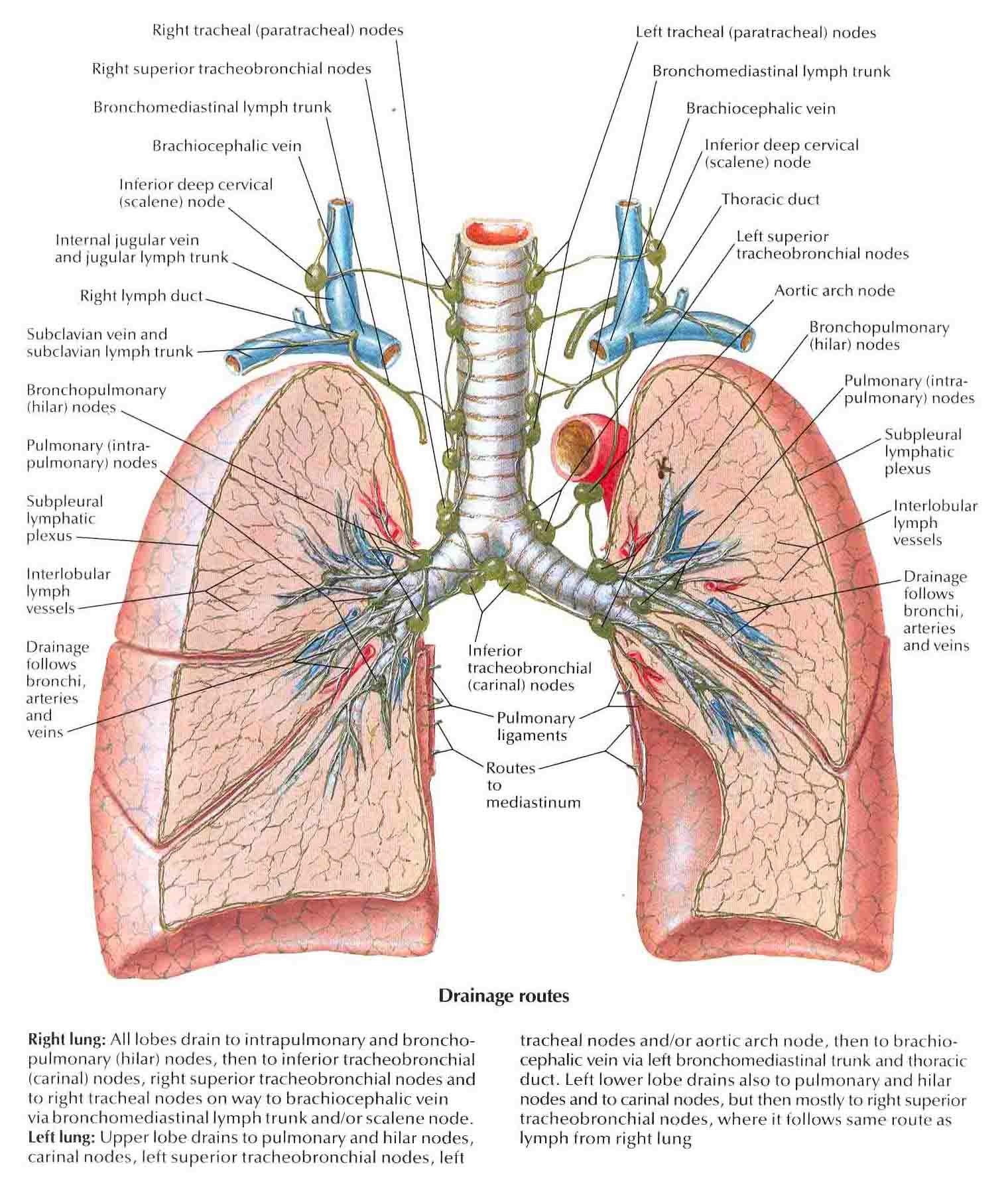 posterior cervical lymph nodes diagram marine battery isolator wiring mediastinal node map