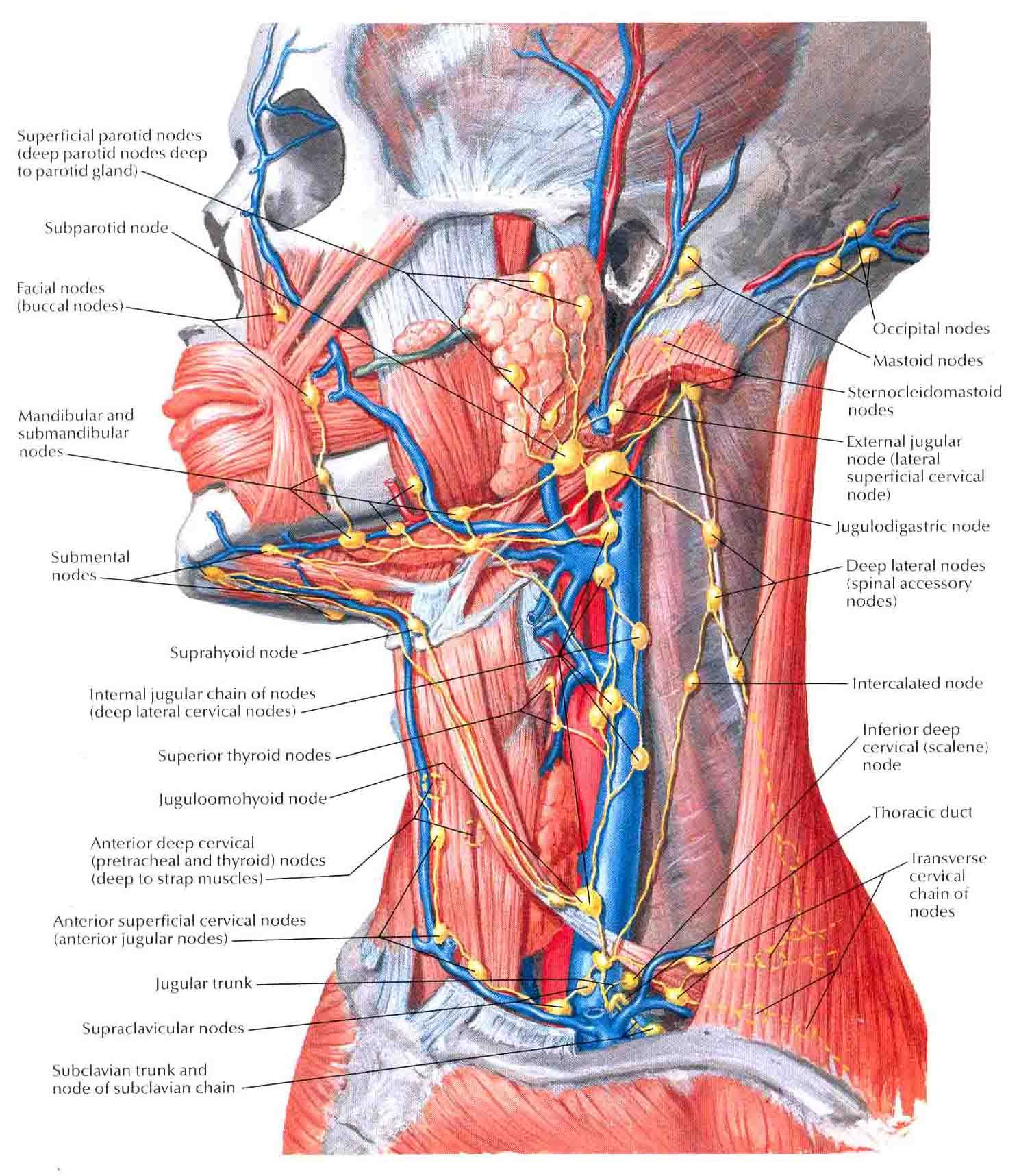 posterior cervical lymph nodes diagram ant parts anatomi patologi organ bedahunmuh 39s blog