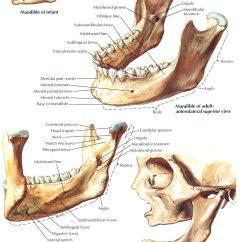 Human Mandible Diagram Energy Transformation Examples Maxillary Sinus Anatomy Manual Engine Schematics