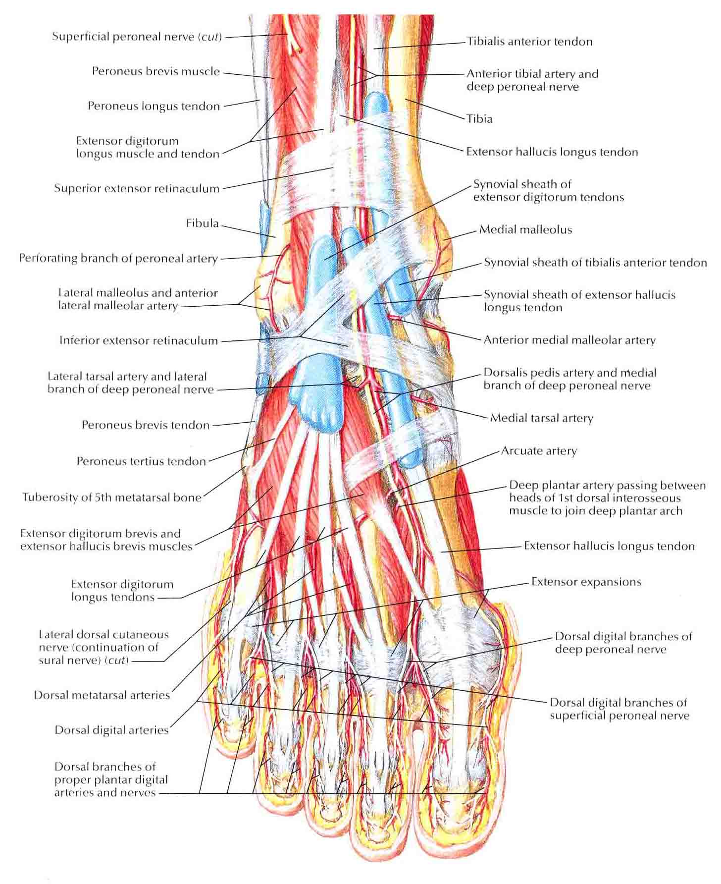 top of foot pain diagram goldstar gps wiring muscles dorsum superficial dissection