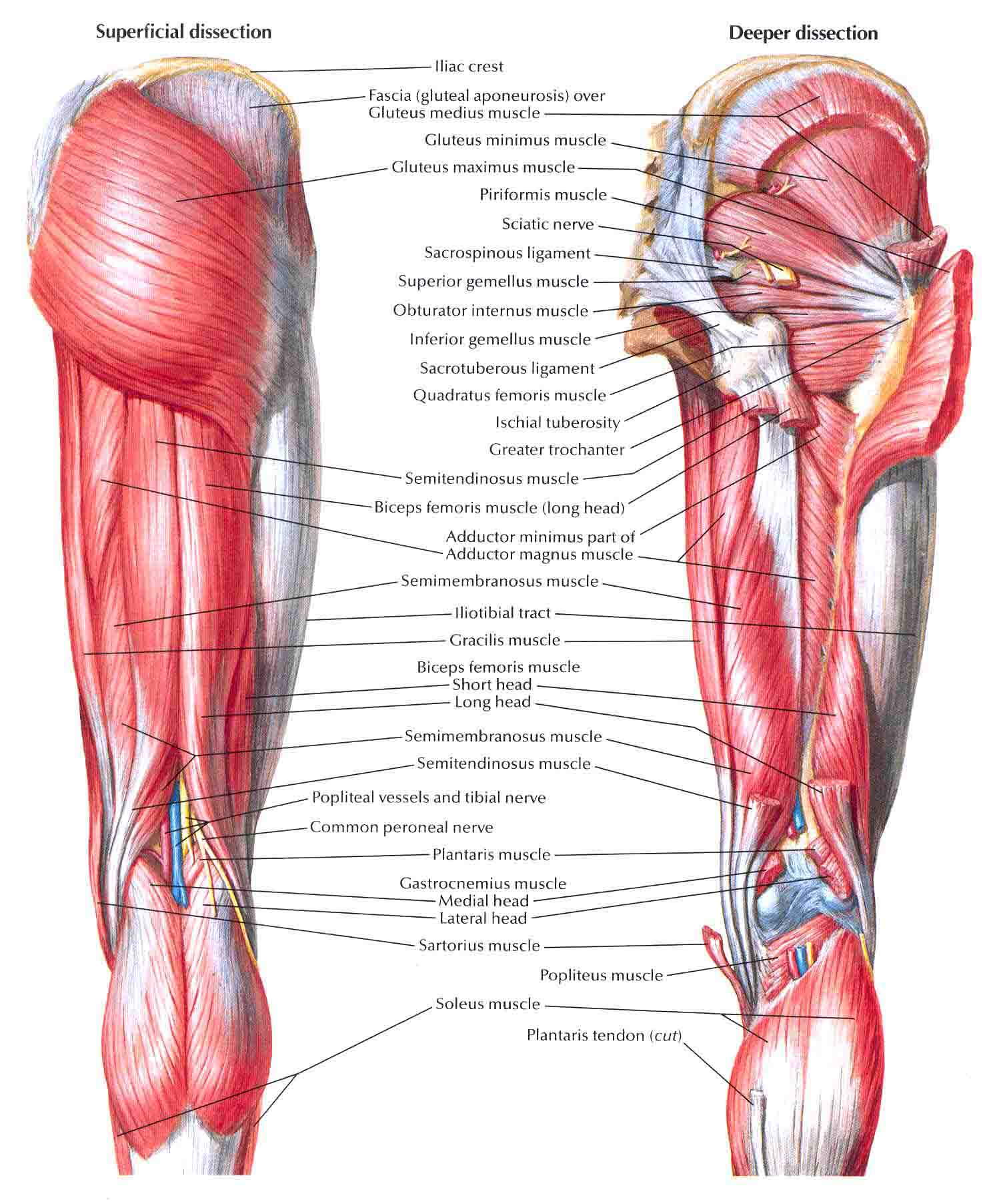 Chapter 6 The Muscular System Worksheet Answers