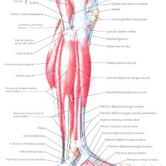Medial Lower Leg Muscles Diagram Waterfall Braid Of Lateral View Bedahunmuh 39s Blog