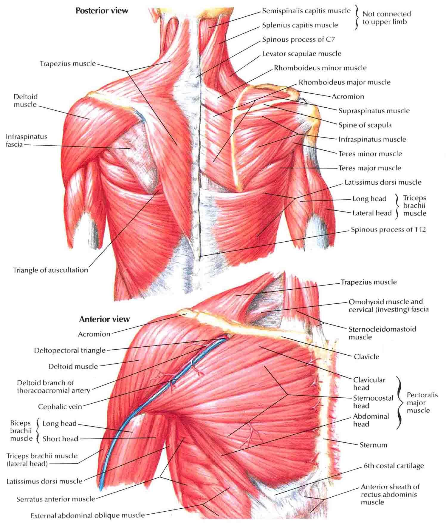 Muscles Of Shoulder