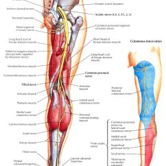 Diagram Of Sciatic Nerve Pathway 3 Phase Motor Starter Wiring Lower Leg Nerves Anterior Compartment