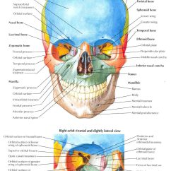 Skull Diagram Unlabeled Animal Cell Mitosis Of Inferior And Lateral View Sphenoid Bone