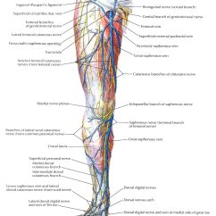 Lower Leg Nerve Diagram Western Plow Wiring The Gallery For Gt Limb Nerves