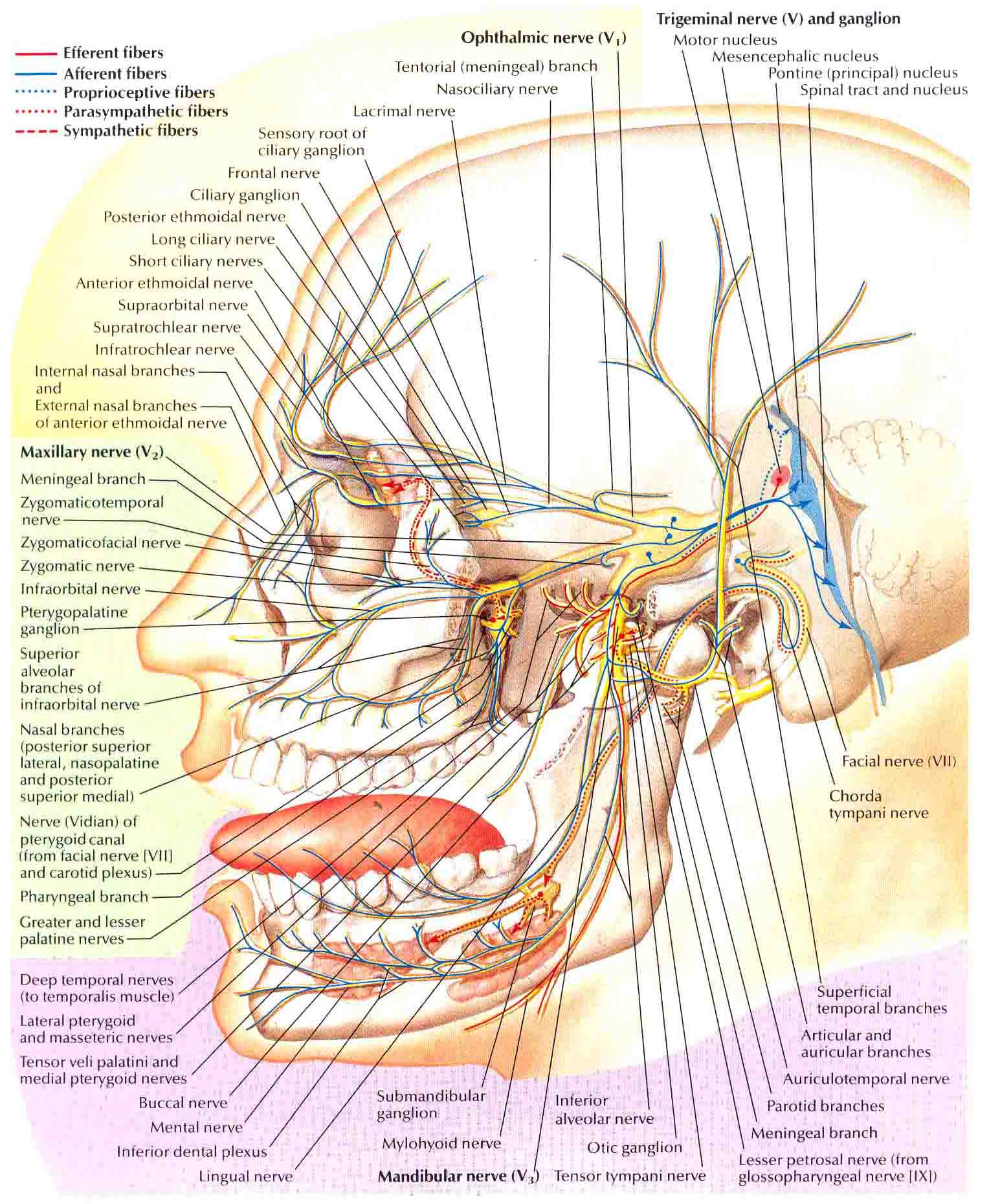 facial trigeminal nerve diagram pioneer parking brake bypass wiring 1000 43 images about neuralgia and tmj on