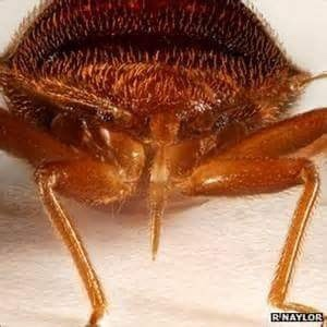 The bed bug mouthpart that is used to feed with is called a proboscis.