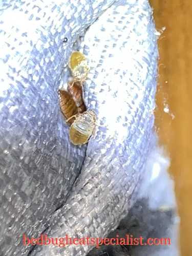 Bed bugs hiding with their shed skins next to them in Oklahoma.