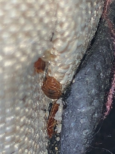 Bed bugs and eggs in cracks and crevices are often overlooked and always missed by bombs and foggers.