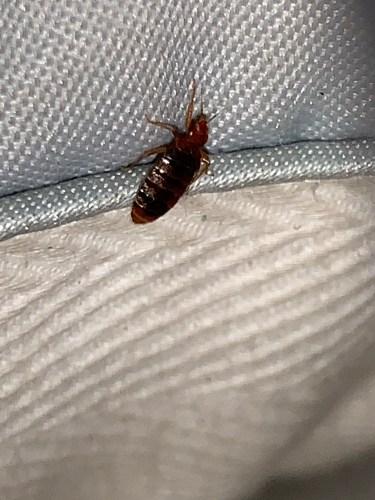 , What does bed bug excrement, droppings or poop look like?, Dead Bug Walkin LLC