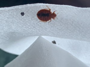 Bed bug waiting on a Kleenex box to be transported to a new area or furniture item. Tulsa, Oklahoma.
