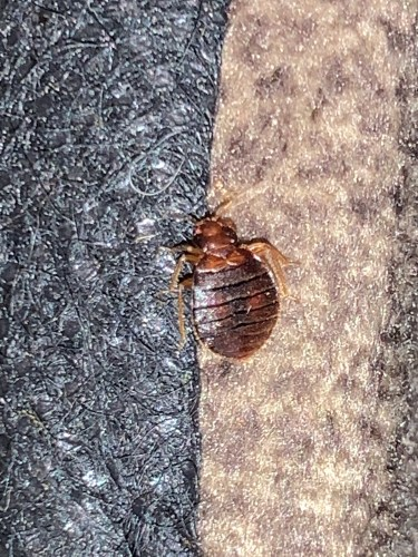 Bed bug on couch in Sand Springs OK.