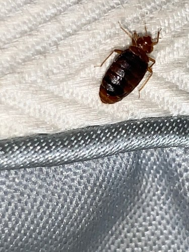 Bed bug that recently fed.​