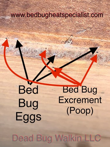 Picture shows black arrows pointed at bed bug eggs cemented to a wooden surface and red colored arrows pointed at bed bug feces or poop. Dead Bug Walkin LLC Oklahoma.