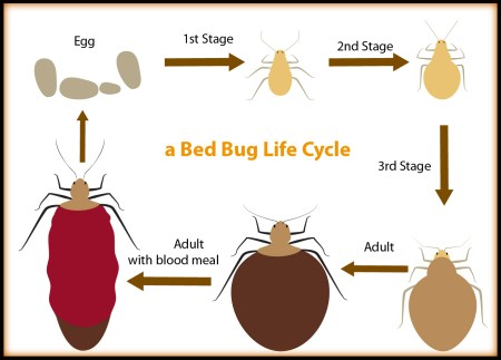 vector-bed-bug-life-cycle