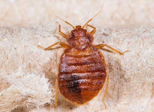 Pictures Of Bed Bug