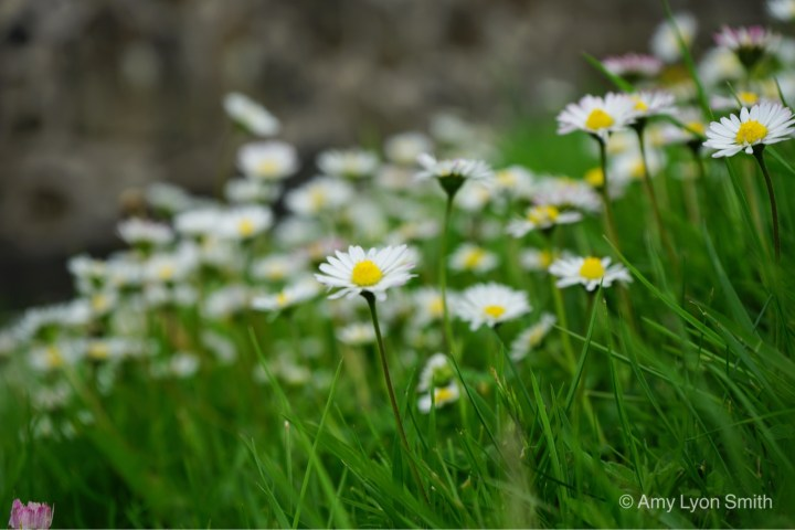 Daisies on the grounds of Stirling Castle in Scotland