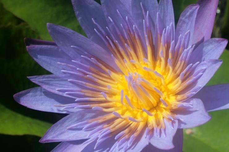 Blue Lotus for Mental Disorders