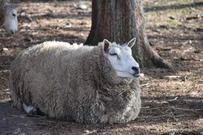 start-sheep