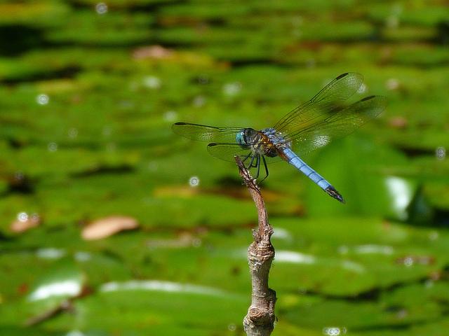 Attracting Dragonflies to your Garden