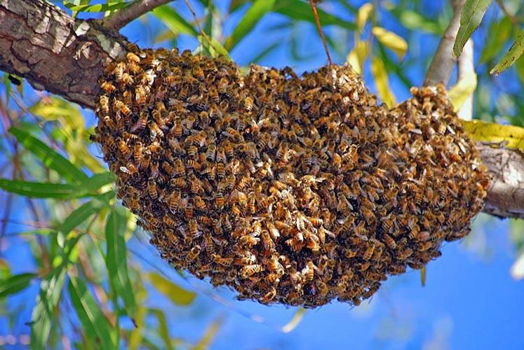 علامات التطريد الداخلية و الخارجية و العوامل التي تدفع النحل إليه و مسلك النحل فيه و آلية حدوثه