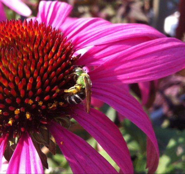 Pollinator Seed Balls