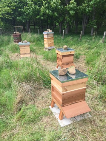 The apiary with 4 live colonies and one empty hive waiting for the Snelgrove split to work.