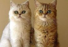 2 cats here represents dual