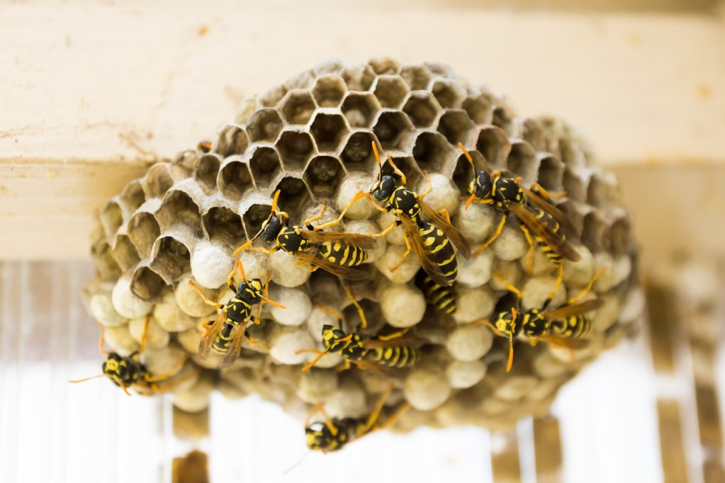 the hive, wasps, combs