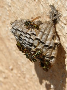wasps' nest, wasps, plant architecture