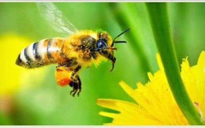 HONEY BEES, OUR DEAR FRIENDS !