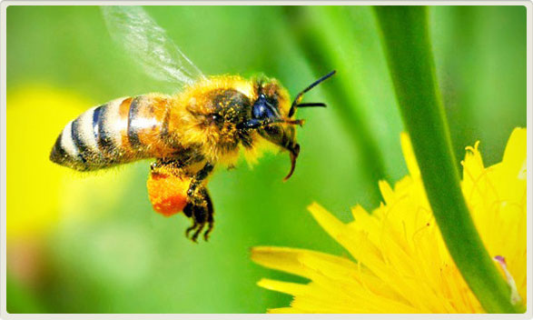 HONEY BEES, OUR DEAR FRIENDS !