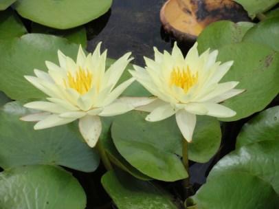 waterlilies Latour-Marliac France