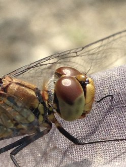Dragonfly very close up!