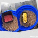 maggots and corn